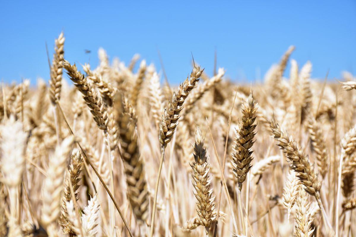 חיטה הגדלה באיזור לה רושל אשר ממנה מייצרים את הלחם המקומי המדהים