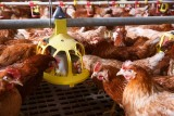 IIB supports the expansion of Romania's leading poultry producer