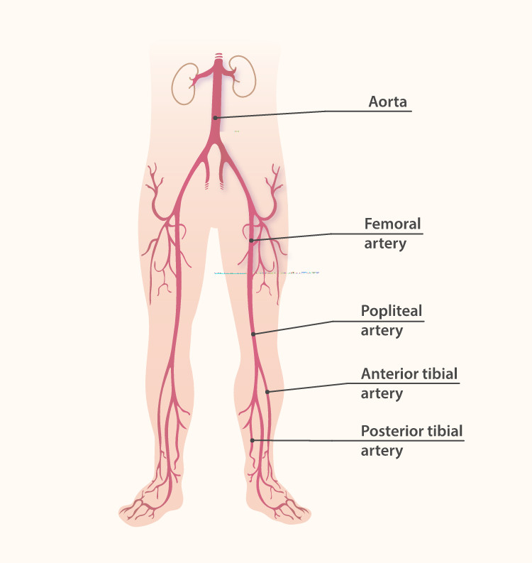 The arteries of the lower body