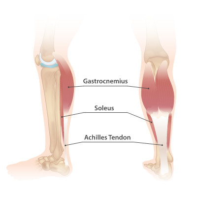 Gastrocnemius, soleus and Achilles tendon