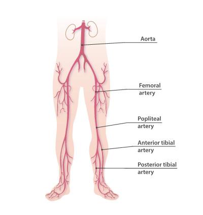 Femoral artery