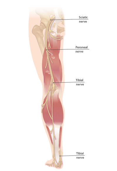 Sciatic nerve and tibial nerve
