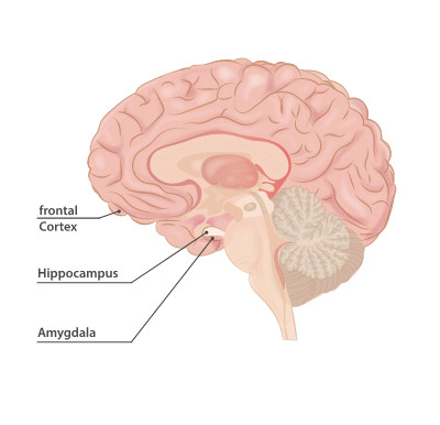 Frontal Cortex, hippocampus and amygdala