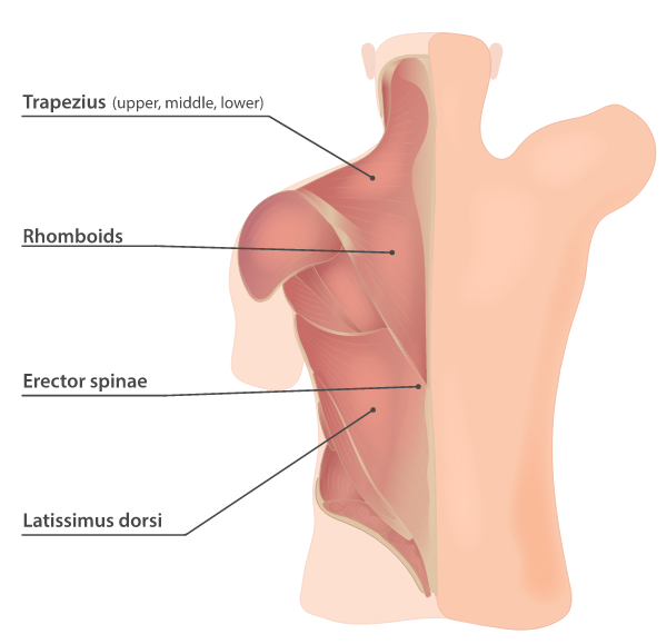 The muscles of the upper back #1