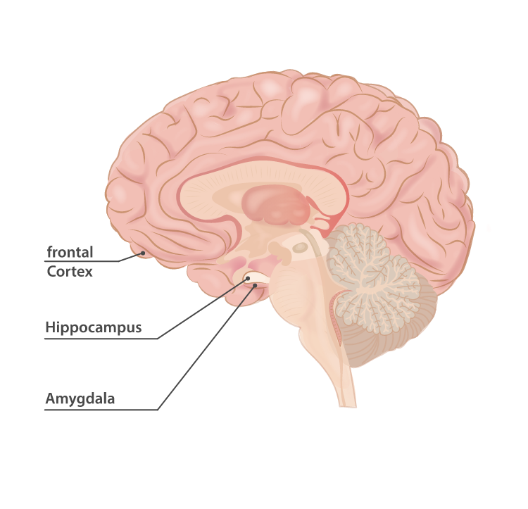 The areas of the brain most affected by physical exercise.