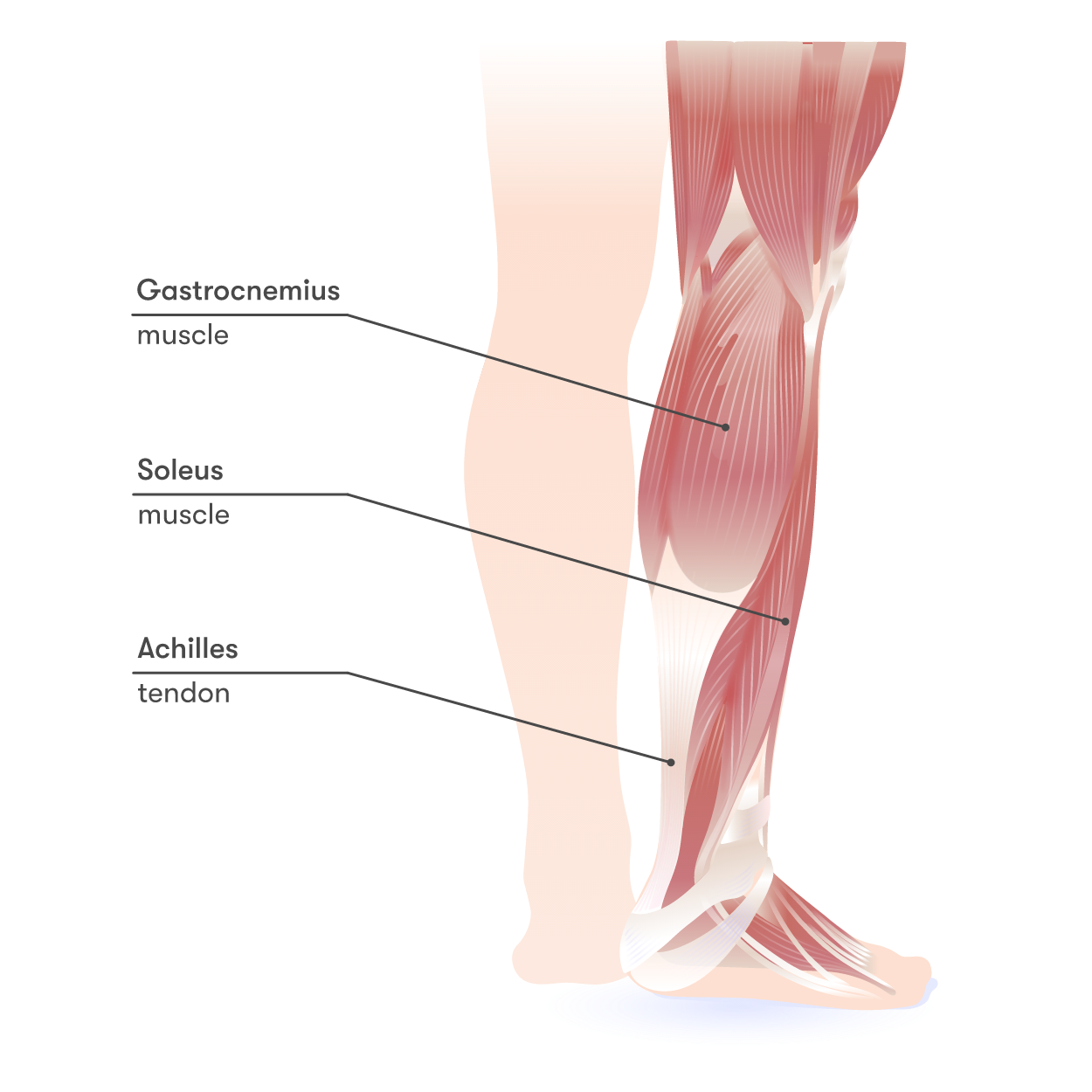 Achilles tendon and the leg muscles