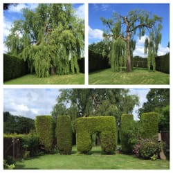 Large willow tree reduced and thinned bringing it back within boundary lines and allowing light into the garden. Also, hedge trimming.