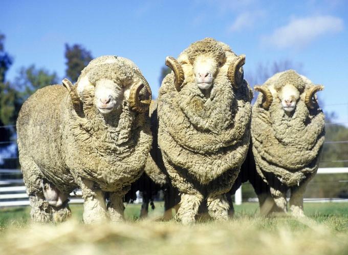 Pure merino wool