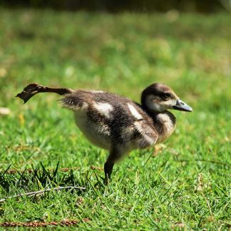 Balancing on one leg duckling by Ken Treloar at Unsplash