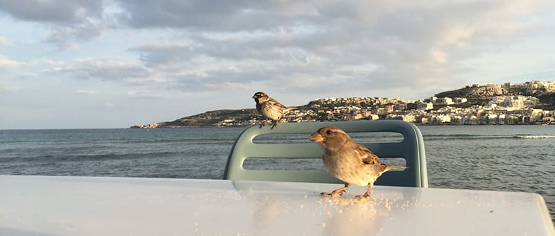 A couple of yoga birds patiently waiting for bits of biscotti at Munchies, Mellieħa Bay, Malta
