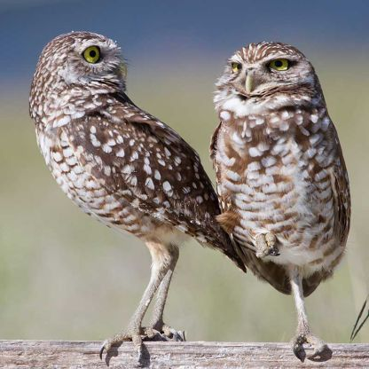 Yoga owl couple by Andy Morffew at Flickr