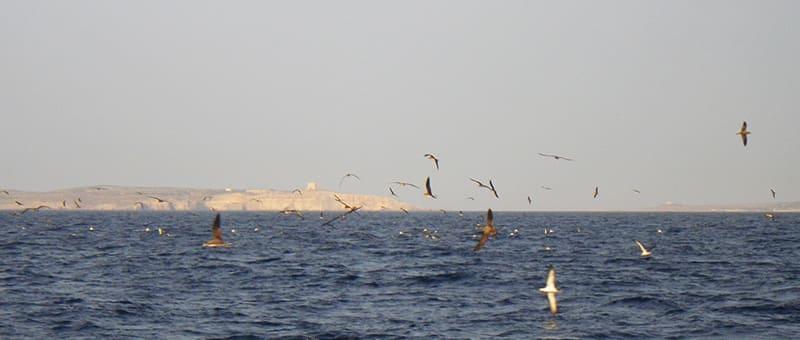 Scopoli's Shearwater rafting off Ta' Ċenċ cliffs, Gozo, Malta