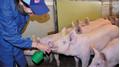 Homöopathie im Schweinestall