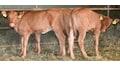 Qualitätstränker für die Kälber- und Grossviehmast