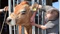 Einfacher Zugang zum Tier für den Tierarzt, kürzere Behandlungszeit, weniger Stress für die Kuh.