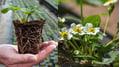 Praxistipp: Erdbeerjungpflanzen frühzeitig stärken