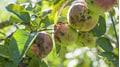Wie Sie Apfelschorf erfolgreich bekämpfen