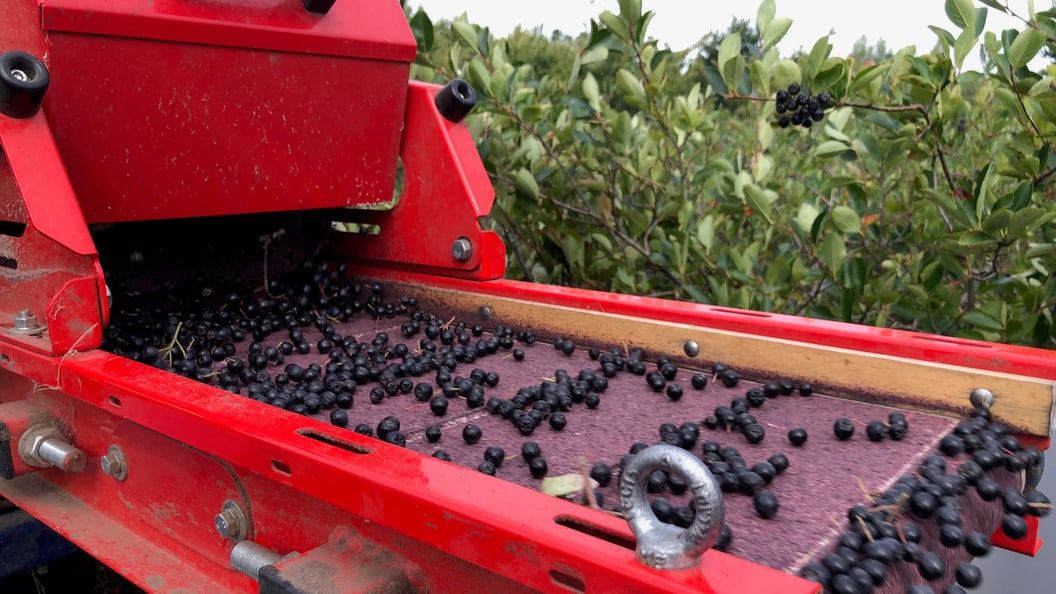 Aronia plantation - cultivation of aronia berries
