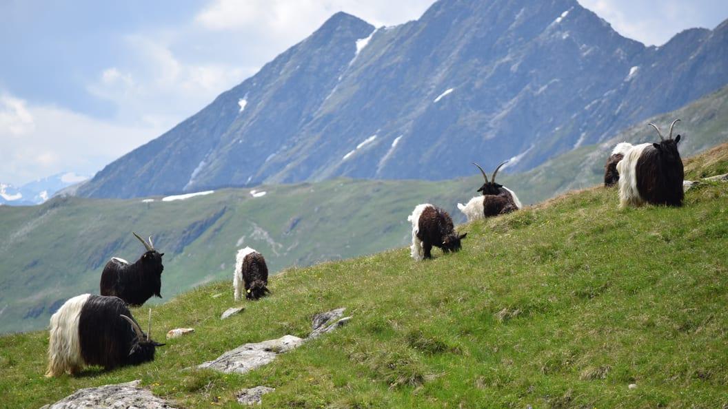 Die Walliser Schwarzhalsziege ist eine typische Schweizer Ziegenrasse