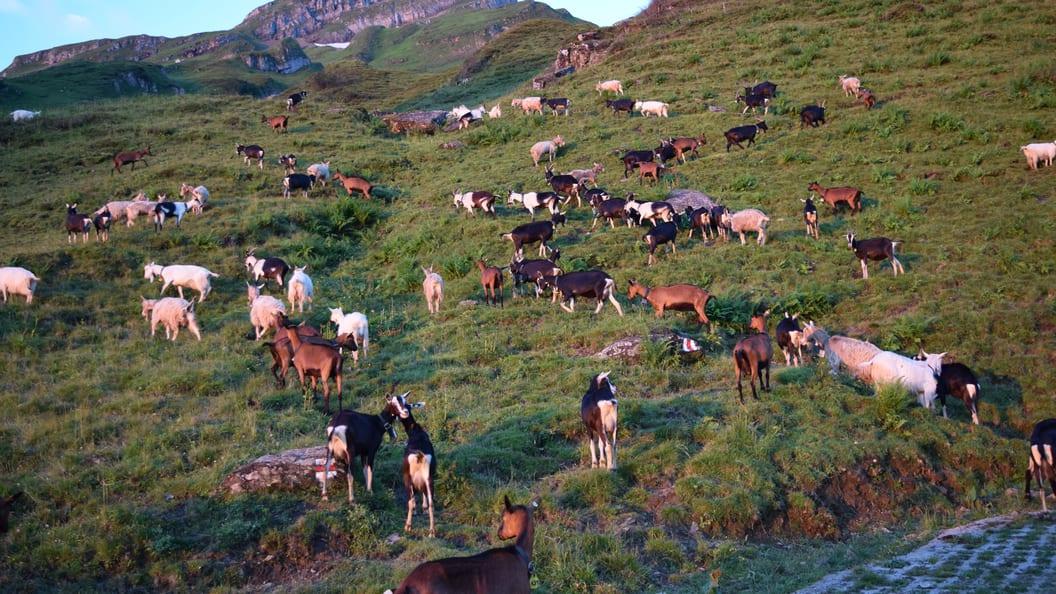 Bunt gemischt - die Schweizer Ziegenrassenvielfalt zeigt sich auf der Alp Malschüel (SG)