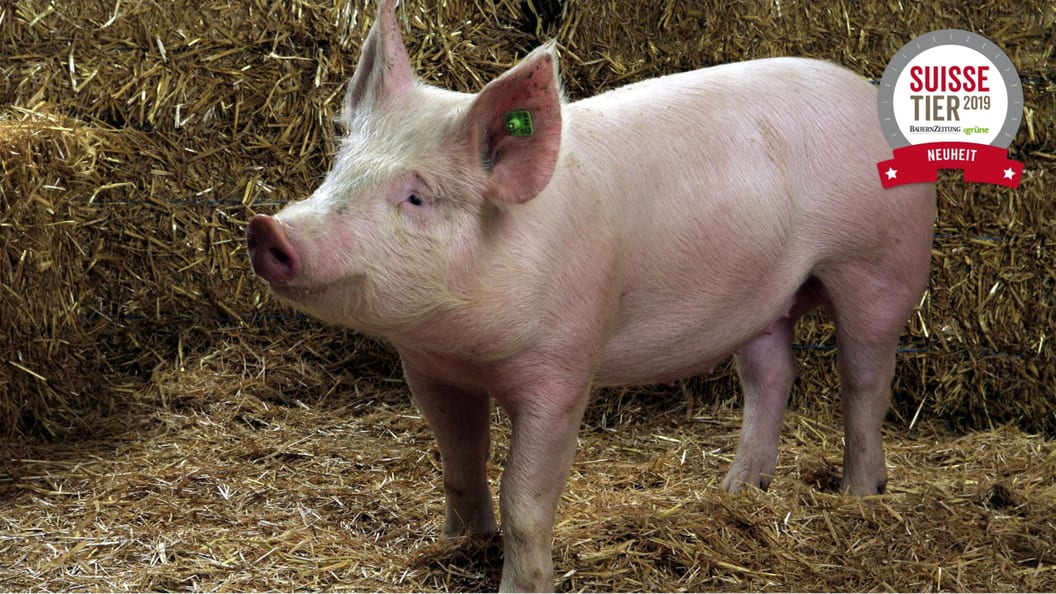 Precision Feeding beim Schwein