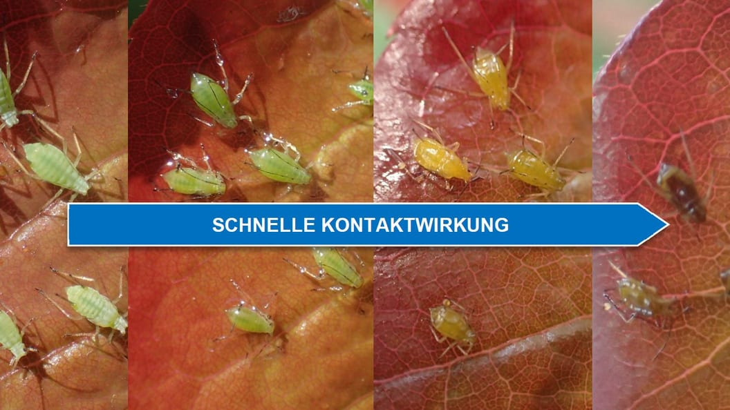 Treatment with ERADICOAT® Green peach aphid (Myzus persicae) on rose