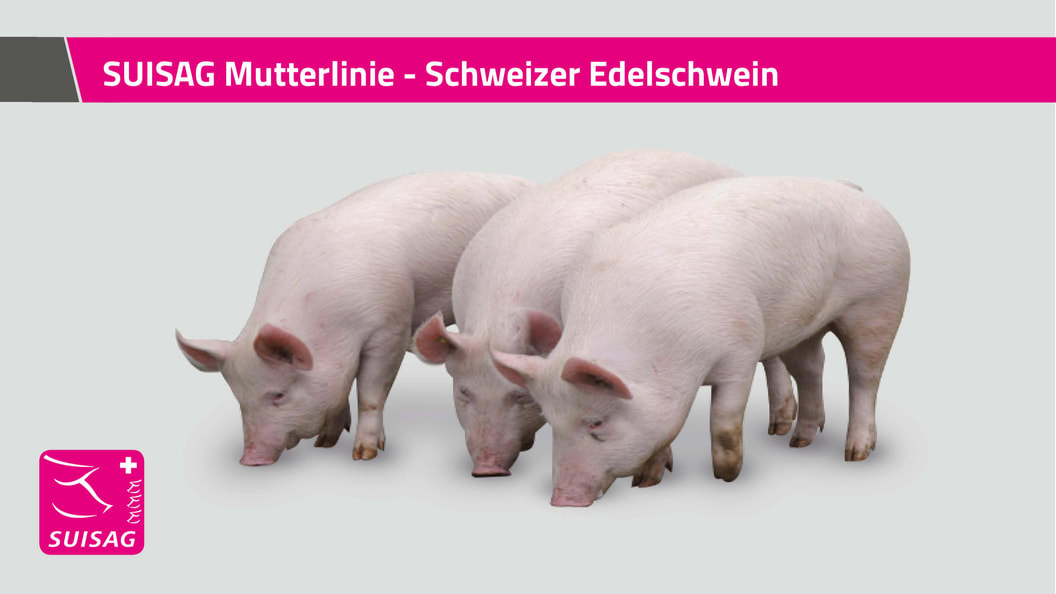 SUISAG Mutterlinie - Schweizer Edelschwein