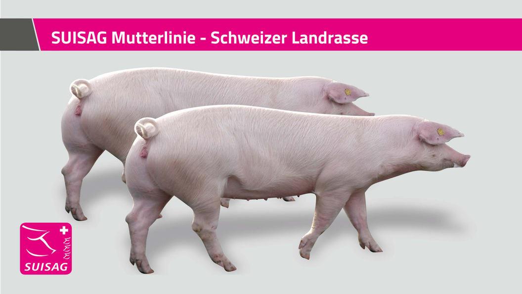 SUISAG Mutterlinie - Schweizer Landrasse