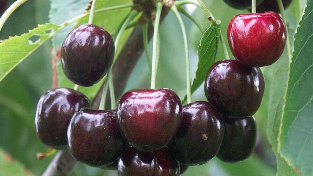 Sweet cherry 'Irena' is our variety highlight for your cherry assortment
