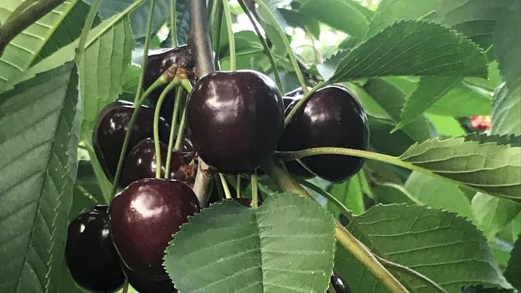 We as tree nursery are particularly proud of our large sized cherry varieties