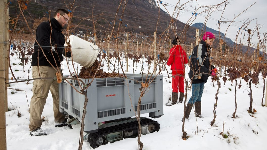 Windegger neo at the sweet wine harvest in Tramin (I)