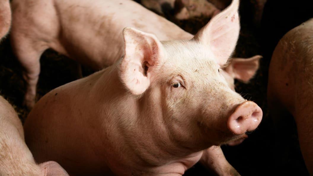 Schwein mit einer Beinschwäche