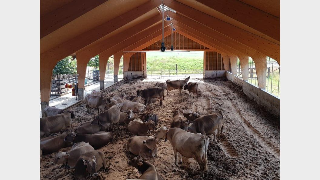 Die Kühe werden relaxter, als der Amagosa Deckengrossventilatoren zu laufen beginnt.