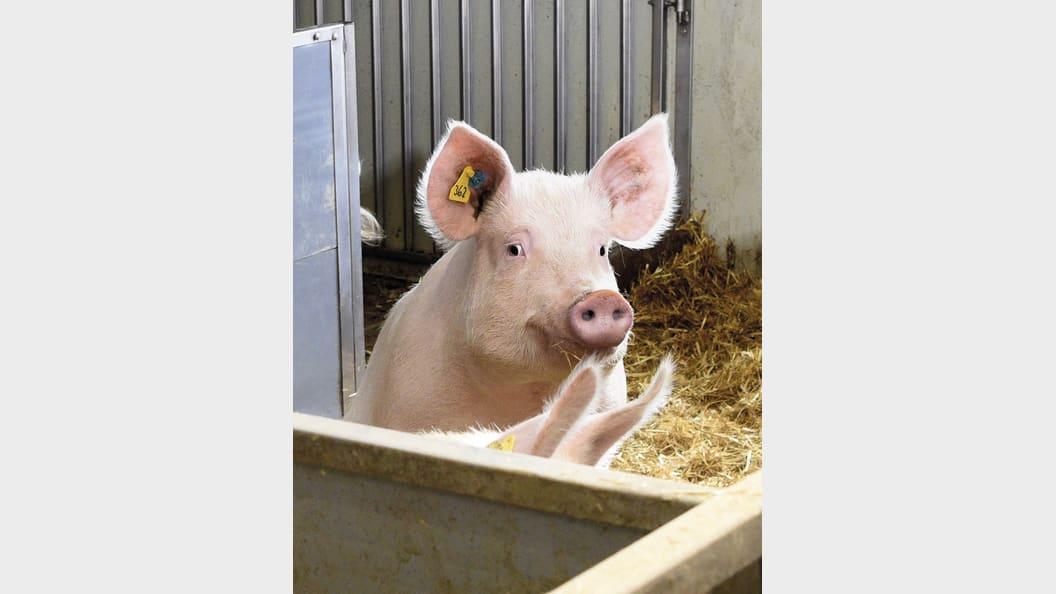 Umfassende Beratung; Ihnen und Ihren Schweinen zu liebe