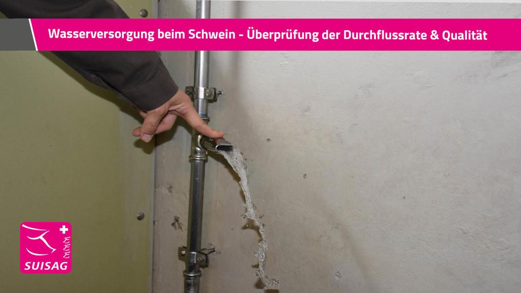 Wasserversorgung beim Schwein - Überprüfung der Durchflussrate & Wasserqualität