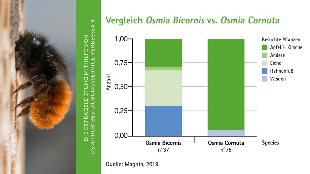 Vergleich Osmia Bicornis vs. Osmia Cornuta