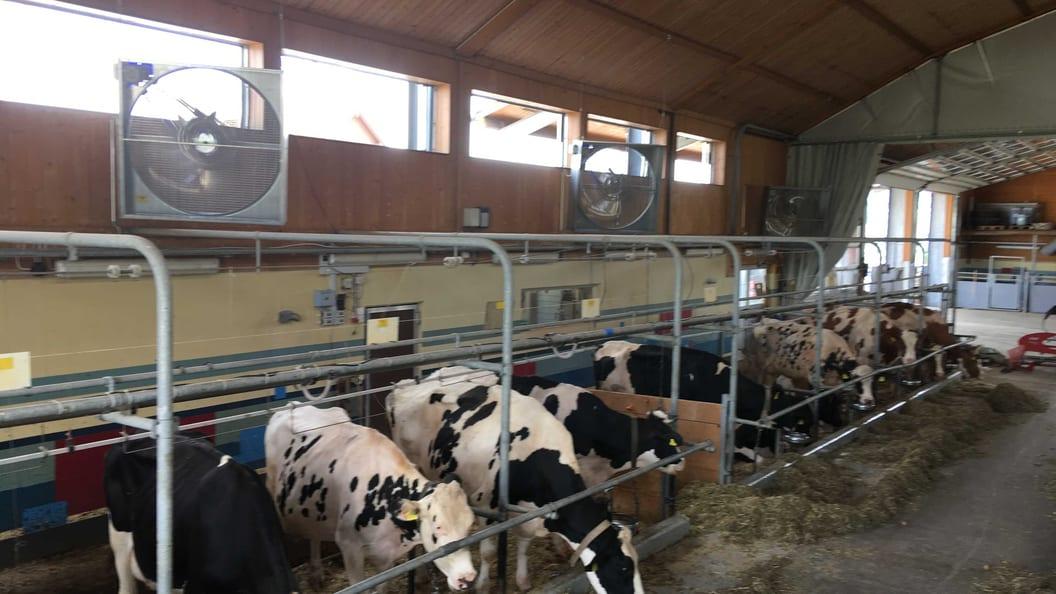 Grossraumlüfter in einem Milchviehstall