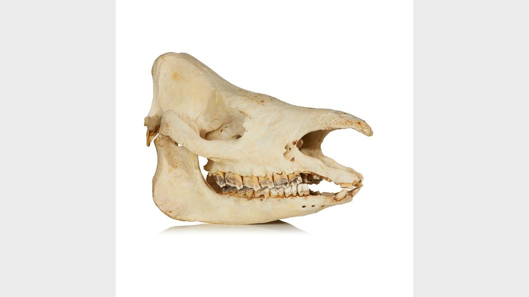 Sumatra Nashorn-Schädel