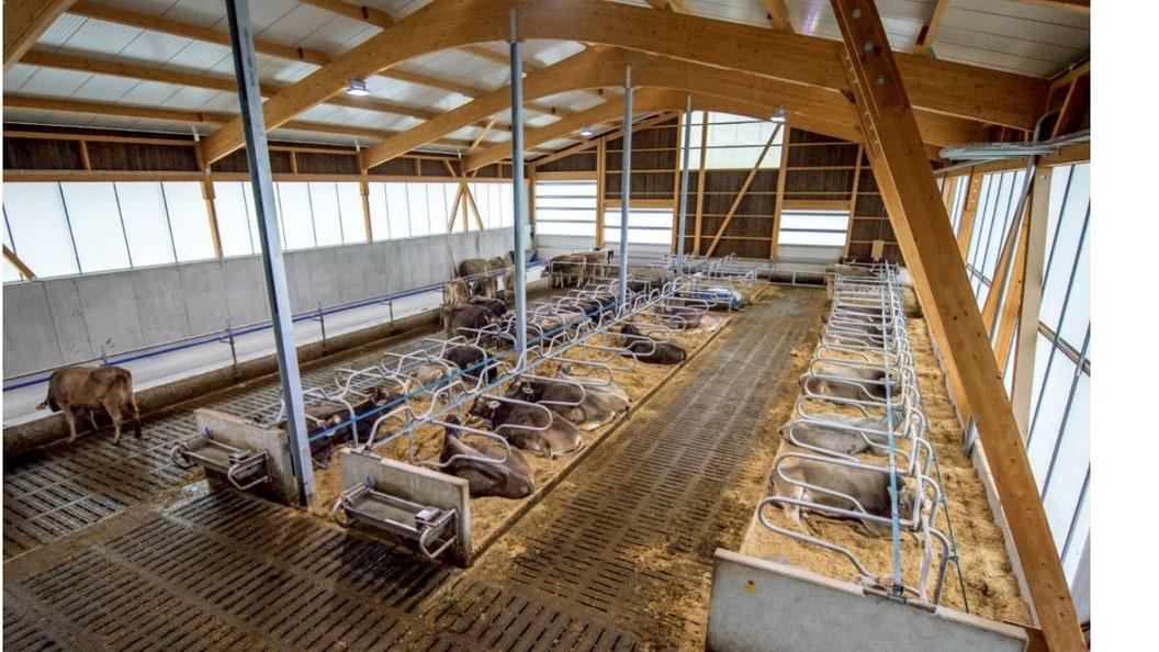 Viel Luft und Licht im neuen Stall für die Kühe. Die Tiere können sich frei bewegen