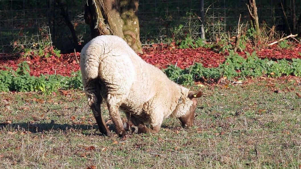 Schaf mit Symptomen der Moderhinke
