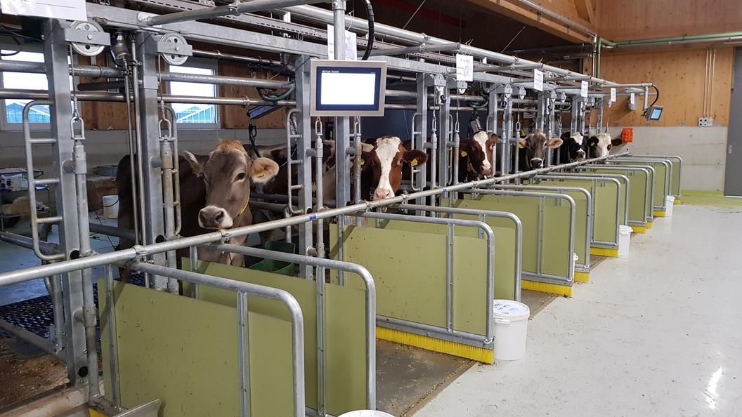 Stoffwechselstall mit 24 Anbindeplätzen und integrierten Wiegeplatten für die Futteraufnahmemessung