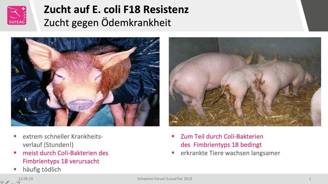 Zucht auf E. coli F18 Resistenz / Zucht gegen Ödemkrankheit