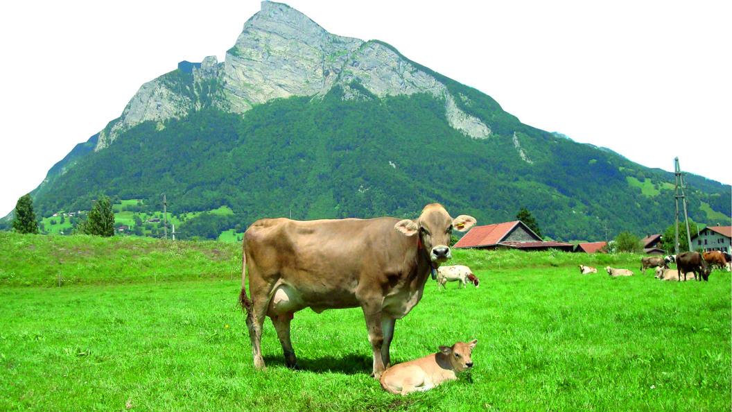 Unterstützen Sie Ihre Kühe mit Flurina Boost für einen optimalen Start in die Laktation.