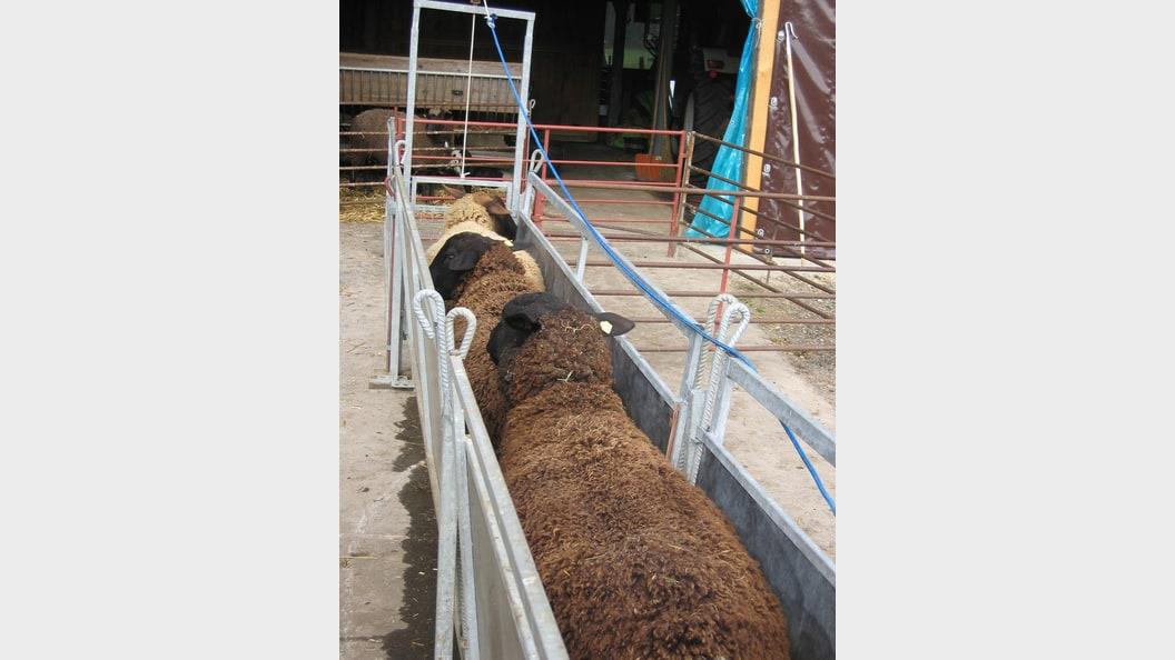 Klauenbad aller Schafe - ein wesentlicher Bestandteil der Sanierung