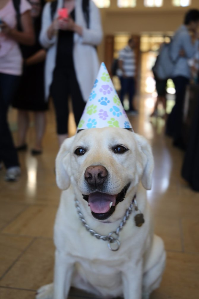 Photo: RT @Chapman_Law: Happy birthday to our favorite Labrador, Juneau, #...