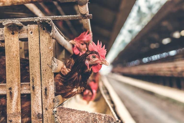 kura w fremie drobiu w klatce