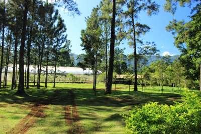 Un pequeño rodal de pino Caribea con buena vista a las montañas de Jarabacoa.