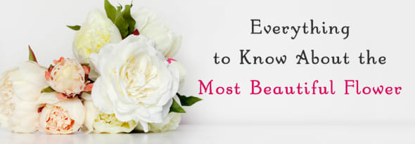 Peonies- Know What Makes Them So Special
