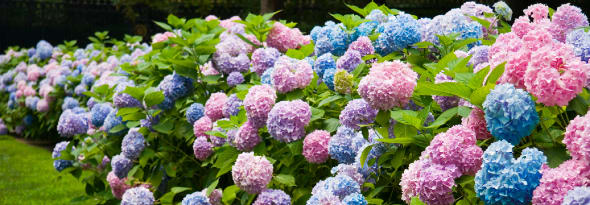 What Causes Hydrangeas to Change Colour