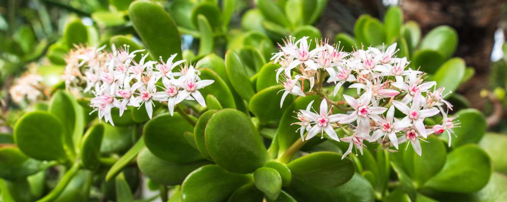 Jade-Flowering-Plant